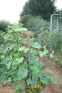 Found bed spring makes a free trellis for my cucumbers.