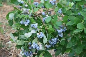 Organic blueberries on the bush
