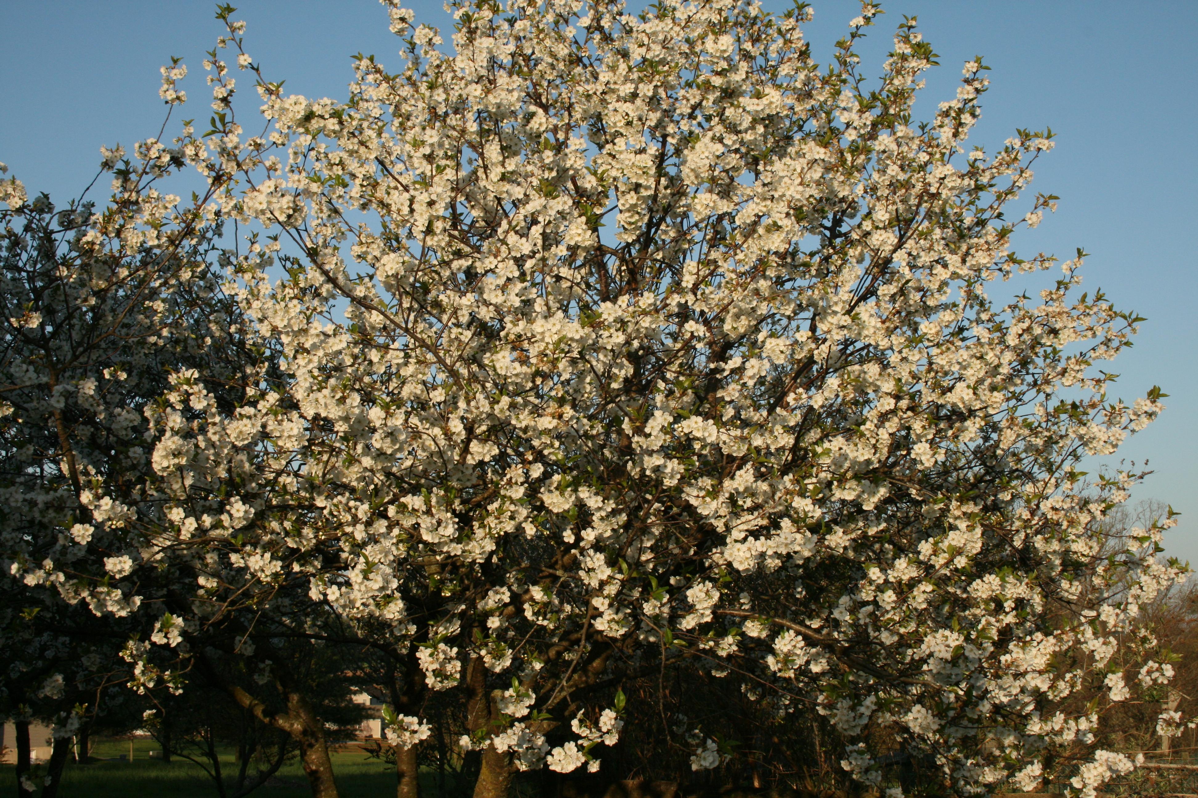 Grow So Easy Organic – Growing Montmorency Cherries | Grow So Easy ...