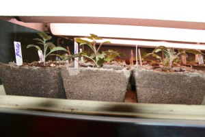 Seedling tomatoes and sweet peppers