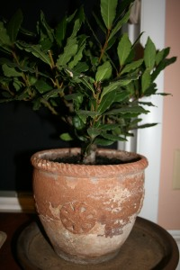 Bay plant, bay leaves, Amish nursery