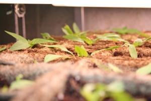 Sweet Italian Pepper Transplants