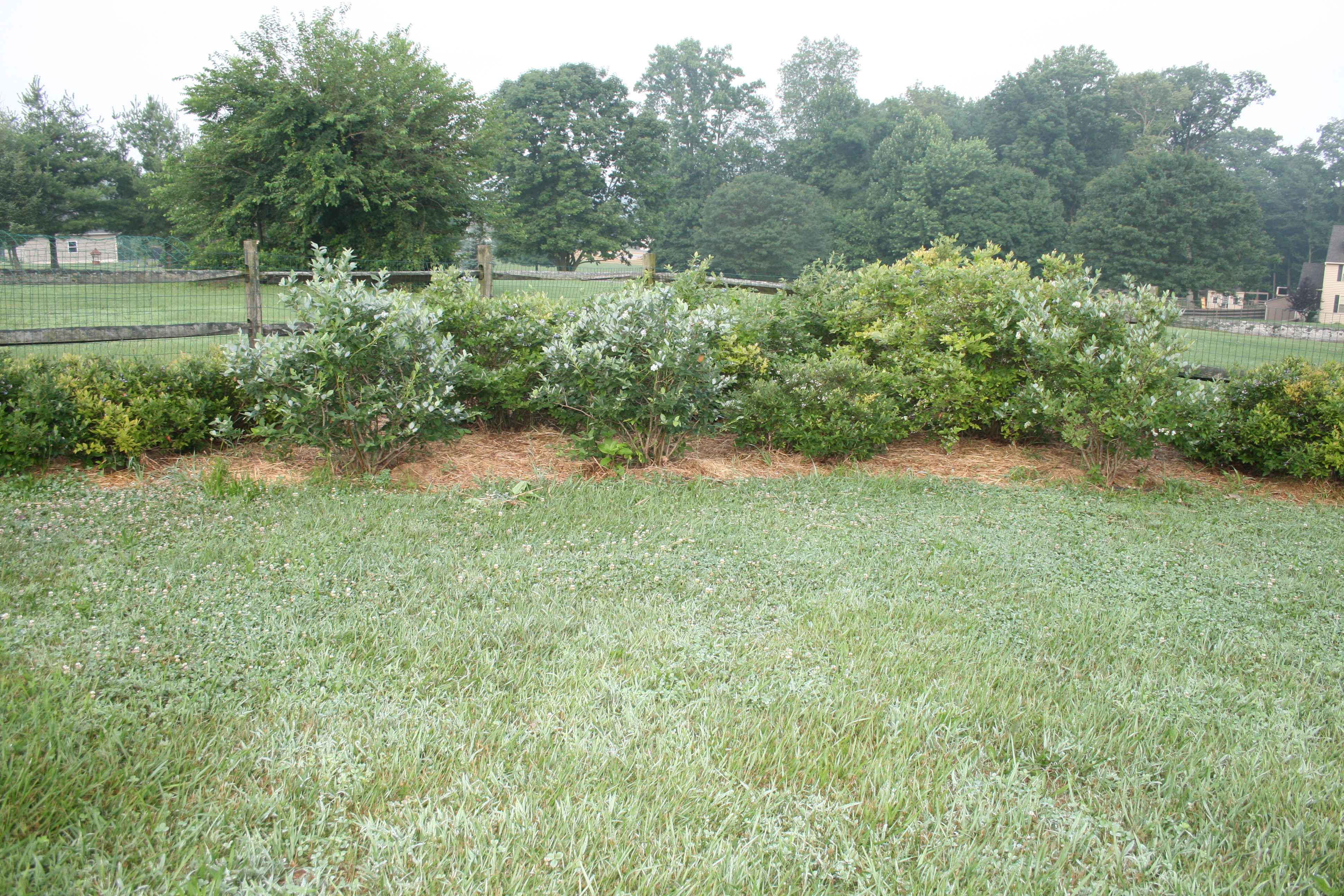 growing organic blueberries is easy grow so easy organic