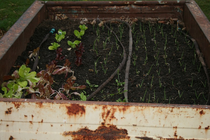 Lettuce, spinach and onions growing in raised truck bed.