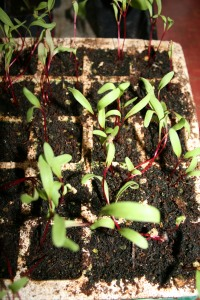 Baby beets grown indoors from seed.