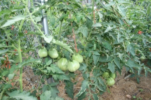 Heirloom tomatoes growing up happy with just sunshine and epsom salts!