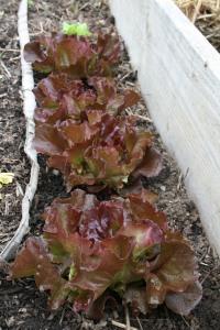 Organic red leaf lettuce