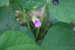 Bumble bean flowers on the vine.