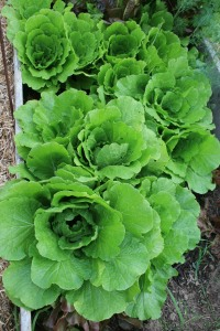 Organic gardening is so easy the lettuce practically grows itself.