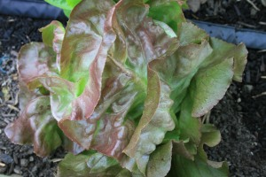 Red Butterhead lettuce ready for harvest.