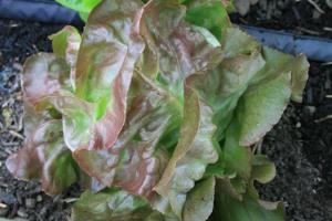 Red Butterhead lettuce ready for harvest.
