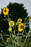 Volunteer sunflowers