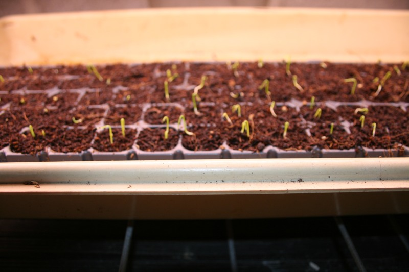 Seedlings get a good start in healthy dirt.