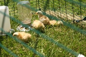 Baby chicks in their Eglu in my backyard.