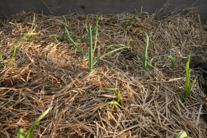 Cold temperatures and high winds stunted the garlic.