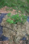Transplanted elderberry growing in the meadow.