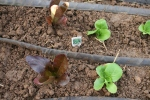 Soaker hoses around baby lettuce.
