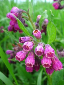 Comfrey grows in shade and is good for your garden.