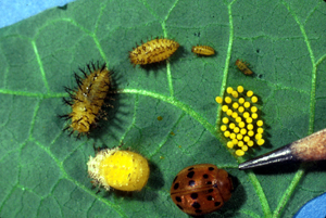 Mexican bean beetle life cycle