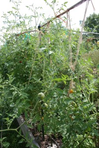 Organic tomatoes on a trellis