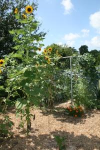 Sunflowers grace my garden