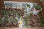 Onion plants ready for the garden