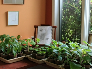 Tomatoes, eggplants, peppers, cucumbers and zucchini wait for transplanting