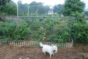 Free fence sections grow great veggies