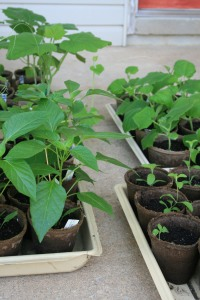 Pepper seedlings ready for transplant
