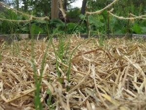 Garlic growing in the spring