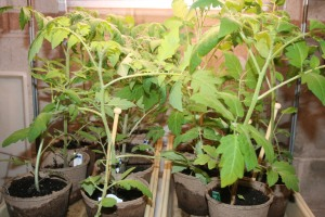 Tomatoes in needs of stakes