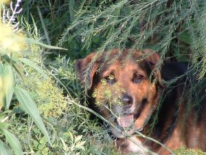 Our dog cooling under the asparagus ferns