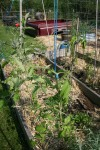 Tomato plants hanging on to their trellis
