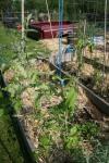 Tomato plants hanging on to their trellis