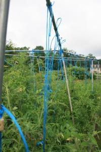 Tomato trellis in bamboo
