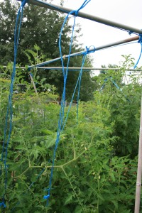 Not so straight tomato trellis