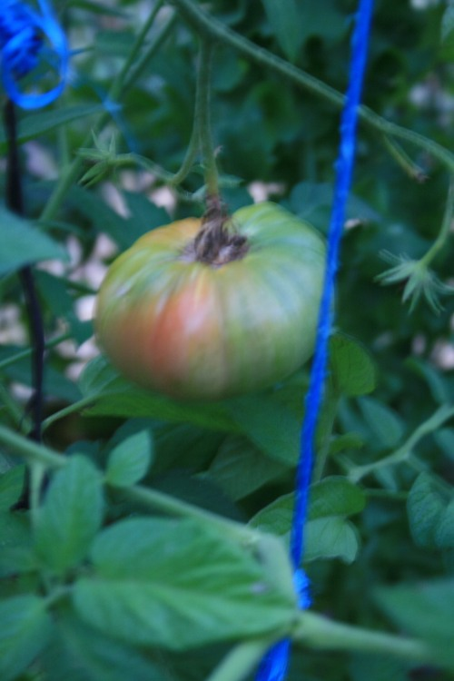 Tomato just turning red
