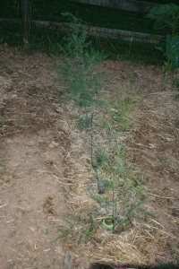 Asparagus Growing-July
