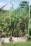 Ratty tomato plants in September