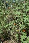Septoria damage on tomatoes