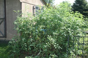 Fox cherry volunteer tomato