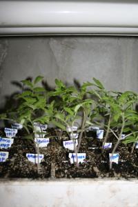 Tomato seedlings in cells