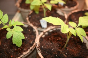 Tomato transplants in peat pots