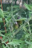 Atomic Grape tomatoes