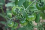 Fox Cherry Tomatoes