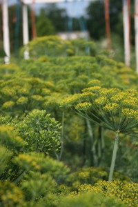 Dill plants growing wild