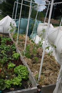 Wind break saves tomatoes