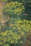 Dill growing tall